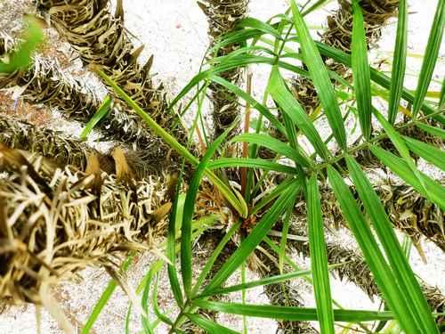Le palmier donne des baies violettes