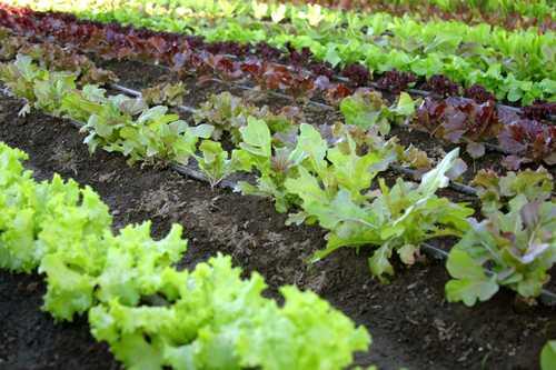 La culture des salades en rangs bien désherbés