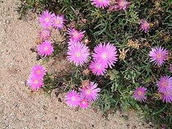 Fleurs roses de ficoide