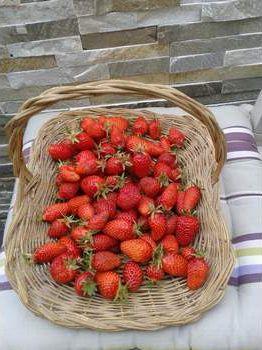 Panier de fraises cultivées naturellement.