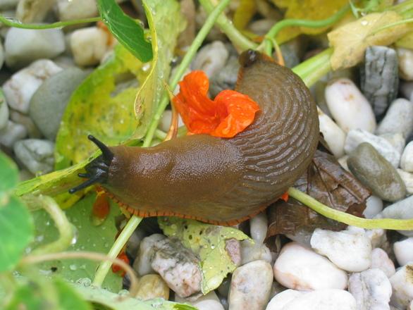 Une limace au potager