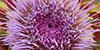 Une fleur d'artichaut