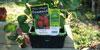 jeune plant de la variété gentonova