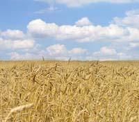 Le blé est la céréale la plus cultivée