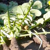 Radis noir long d'hiver récoltés à l'automne