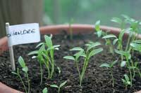 Semis de graines de coriandre