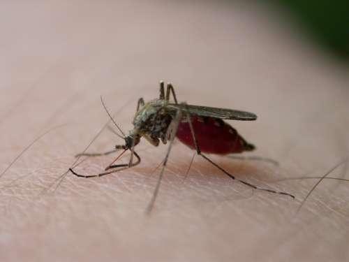 Moustique en train de piquer la peau