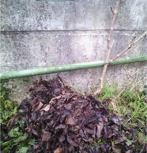 Jeune cep de vigne protégé du froid par un paillis de feuilles mortes