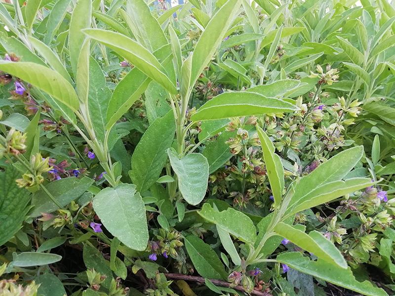 Ce sont les feuilles de sauge qui sont utilisées en infusion